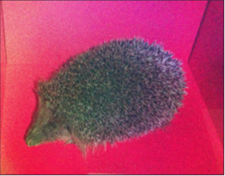Hedgehog hologram